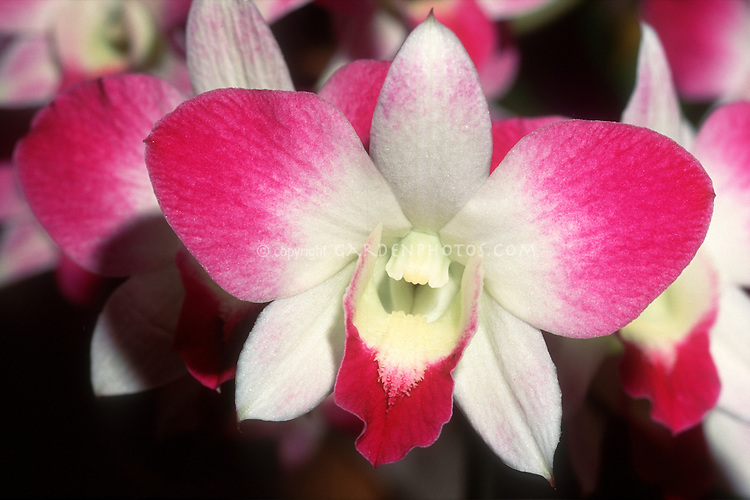 Dendrobium Ekapol 'Small Panda' Orchid, a Den. phalaenopsis hybrid with red and white flowers