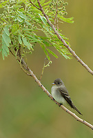 Eastern Wood-Pewee (Contopus virens), adult, South Padre Island, Texas, USA