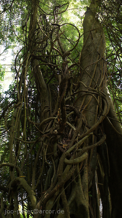 holy and magic tree with air-roots in the forest cemetery of Bali Aga village Trunyan at Lake Batur, vulcano Mount Batur, Bali,  archipelago Indonesia