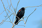 Red-winged Blackbird Male, Sepulveda Wildlife Refuge, Southern California