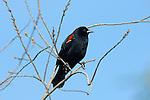 Red-winged Blackbird Male, Sepulveda Wildlife Refuge, Southern California