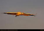 Sandhill Crane in Flight at Sunset, Bosque del Apache Wildlife Refuge, New Mexico