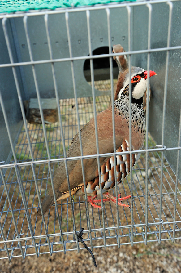Red-legged partridge, Alectoris rufa, farmed for reintroductions<br /> Portugal
