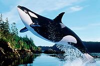 orca, Orcinus orca, makes dramatic leap, British Columbia, Canada, Pacific Ocean (dc)
