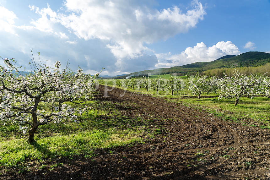Blossoming apple trees in Hungary near to the Pilis mountains