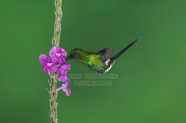 Green Thorntail, Discosura conversii, male in flight feeding on Porterweed(Stachytarpheta), Central Valley, Costa Rica, Central America