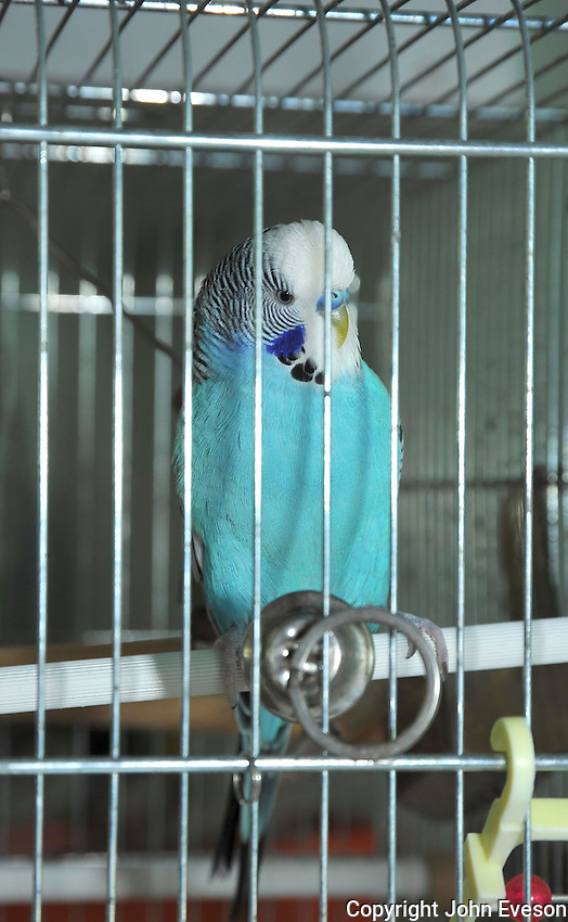Blue Budgerigar (Melopsittacus undulatus) in cage...Copyright..John Eveson, Dinkling Green Farm, Whitewell, Clitheroe, Lancashire. BB7 3BN.01995 61280. 07973 482705.j.r.eveson@btinternet.com.www.johneveson.com