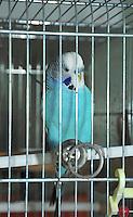 Blue Budgerigar (Melopsittacus undulatus) in cage...Copyright..John Eveson, Dinkling Green Farm, Whitewell, Clitheroe, Lancashire. BB7 3BN.01995 61280. 07973 482705.j.r.eveson@btinternet.com.www.johneveson.com
