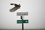 A hawk lands on a street sign on Tyler Island, February 18, 2010.