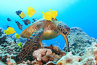 green sea turtle, Chelonia mydas, being cleaned by yellow tang, Zebrasoma flavescens, and gold-ring surgeonfish, Ctenochaetus strigosus, Kona, Big Island, Hawaii, Pacific Ocean