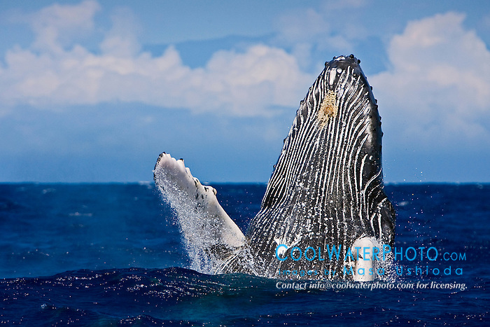 humpback whale, Megaptera novaeangliae, breaching, Haleakala of Maui in background, Hawaii, Pacific Ocean