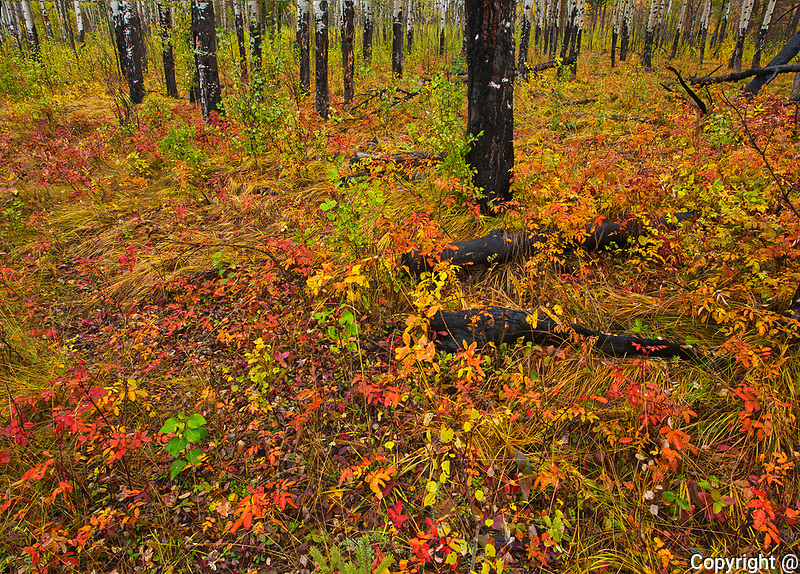 Fall colors in old burn at Muleshoe picnic site in the Bow Valley.<br />
