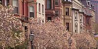 Magnolias on Commonwealth Avenue, Boston, MA spring