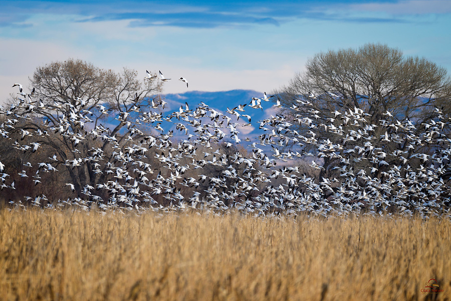 Even with a telephoto lens, the scale of Snow Geese (Chen caerulescens) is immense as they take off from a field, Bosque del Apache National Wildlife Refuge, New Mexico.