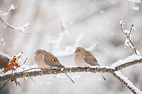 mourning dove, Zenaida macroura, in snow storm, perched on a branch in Nova Scotia, Canada