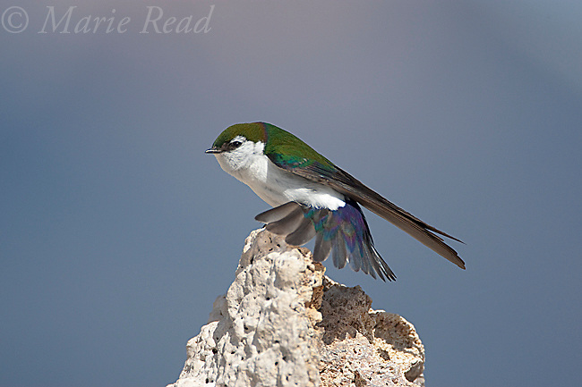 Violet-green Swallow (Tachycineta thalassina), male stretching its wing while perched on tufa, Mono Lake, California, USA