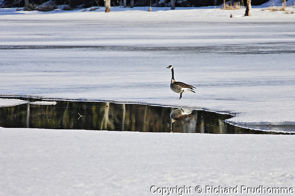 A Canada goose  on a still  frozen lake in the spring