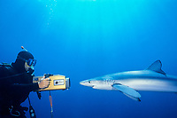 blue shark, Prionace glauca, and videographer, San Diego, California, USA, Pacific Ocean
