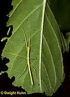 OR07-542z  Walking Stick Insect, juvenile camouflaged on tree, Acrophylla wuelfingi