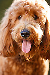 20130929 Teddy Goldendoodle