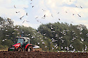 30/09/12 ..Having flown inland more than 65 miles from the nearest coast, a hungry flock of gulls mob a tractor and eat worms as a field is ploughed near Uttoxeter, Staffordshire...All Rights Reserved - F Stop Press.  www.fstoppress.com. Tel: +44 (0)1335 300098.Copyrighted Image. Fees charged will reflect previously agreed terms or space rates for individual publications, states or country.