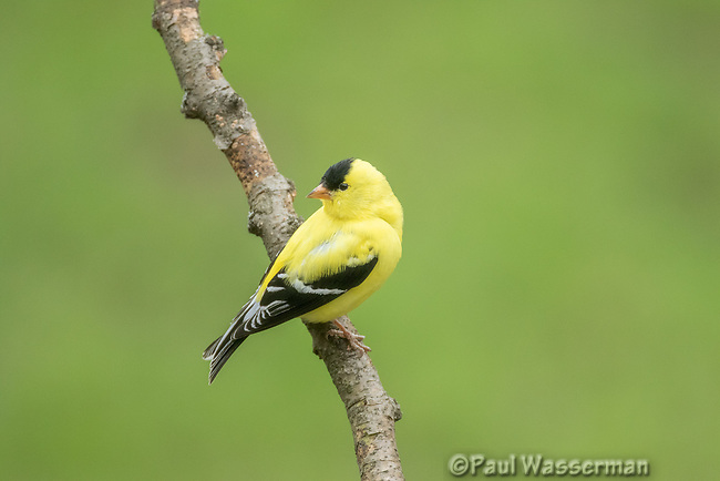 American Goldfinch in spring breeding plumage