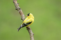 American Goldfinch in spring breeding plumage