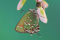 Juniper Hairstreak, Callophrys gryneus, adult on blossom of Eve's Necklace (Sophora affinis), Uvalde County, Hill Country, Texas, USA, April 2006