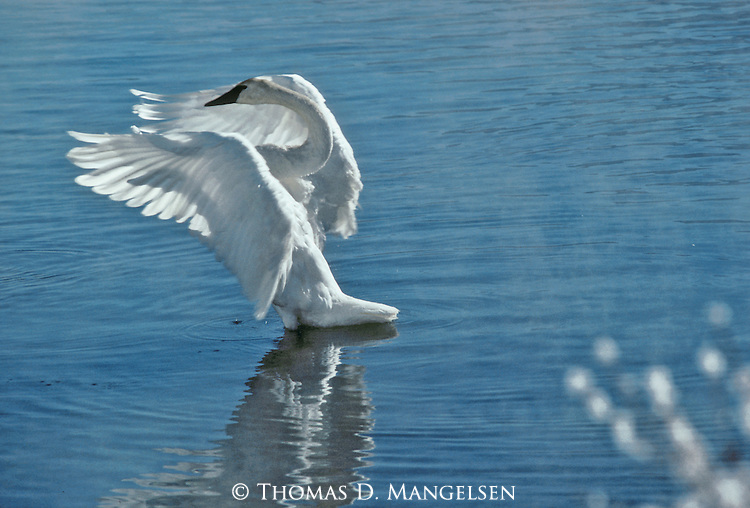 A trumpeter swan gracefully holds its wings in the courtship display called bridling.
