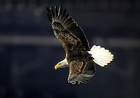 Jan. 4, 2010; Glendale, AZ, USA; A bald eagle named Challenger flies to the field prior to the game between the TCU Horned Frogs against the Boise State Broncos in the 2010 Fiesta Bowl at University of Phoenix Stadium. Boise State defeated TCU 17-10. Mandatory Credit: Mark J. Rebilas-