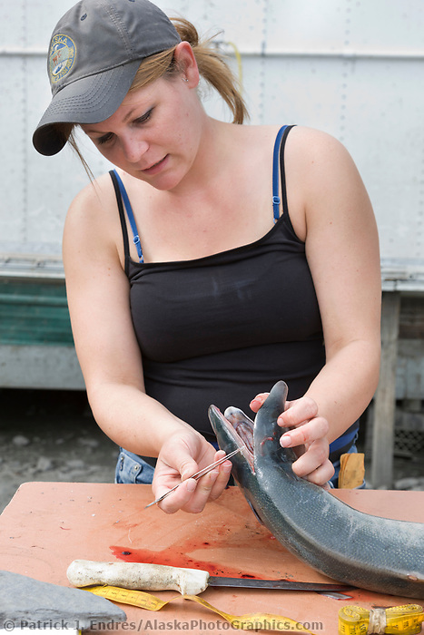 Erin Nicholsan of the Alaska Department of Fish and Game, removes the otolith (ear bones) from red salmon caught by dipnetters in the Copper River. The ear bones are examined for Gulkana hatchery markings.