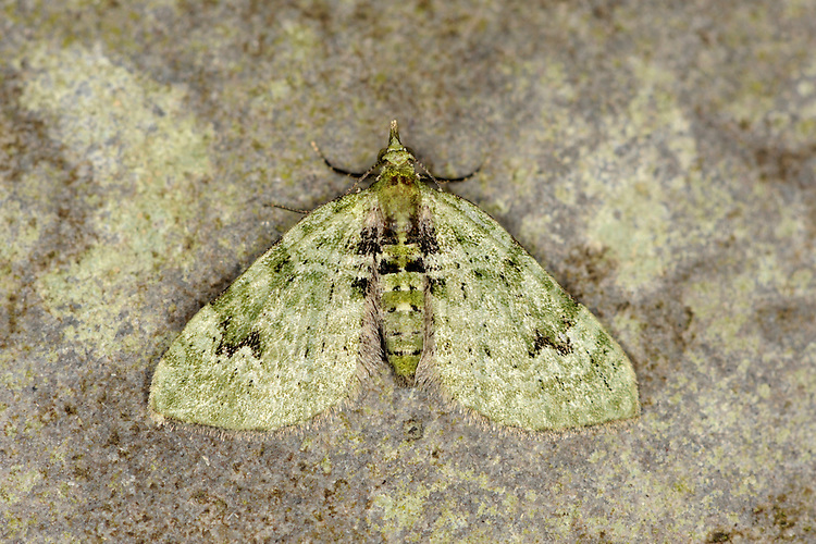 The V-Pug Chlorclystis v-ata Wingspan 15-19mm. A colourful little moth, easily recognised by its colour and diagnostic markings. Rests with wings spread flat, forewings mostly covering hindwings. Adult is bright green overall, with distinct black 'V' mark near leading edge of forewing. Flies May-June, with a second brood in the south, in August. Larva feeds on Elder, Hawthorn and Bramble. Widespread but commonest in south.