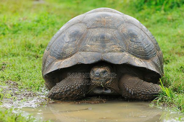 Galapagos Giant Tortoise (Geochelone elephantopus), adult eating, Galapagos Islands, Ecuador, South America