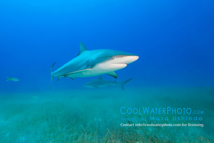 Caribbean Reef Sharks, Carcharhinus perezi, over seagrass bed, West End, Grand Bahamas, Atlantic Ocean