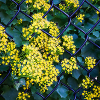 A chain link fence adds lines and forms to an image of tiny yellow flowers on the border of the Japanese Garden in Hayward, California..