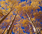 Towering view of fall-colored quaking aspen trees (Populus tremuloides), along Last Dollar Road, near Telluride, CO