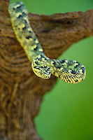 489550016 a captive usambara mountains eyelash bush viper atheris ceratophora sits coiled on a tree stump species is newly recorded and native to the usambara mountains of tanzania