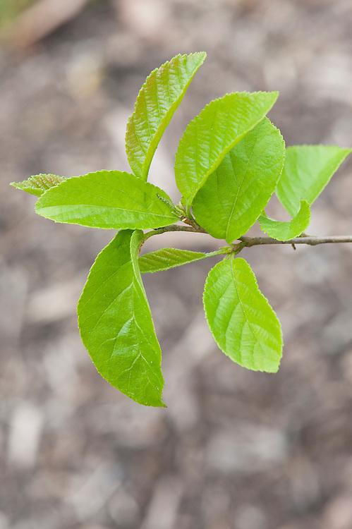 New spring foliage on Japanese alder (Alnus japonica), mid April.