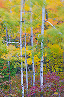 Birch tree trunks are framed by wind blown autumn color in a Newport State Park forest, Door County, Wisconson