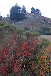 Poison oak and coyote brush at Butano State Park