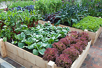 Raised Bed Vegetable Garden in Backyard, New Red Fire lettuce