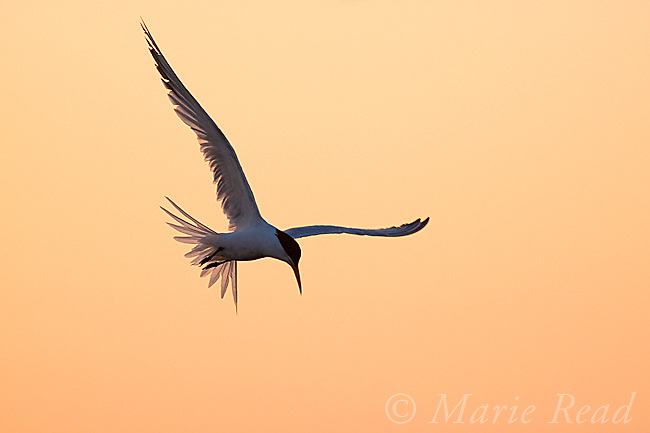 Elegant Tern (Sterna elegans) hovering at sunrise, Bolsa Chica Ecological Reserve, California, USA