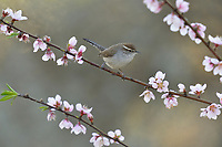 Bewick's Wren (Thryomanes bewickii), adult perched on blooming Peach tree (Prunus persica) , Hill Country, Central Texas, USA