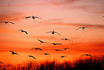 In an ancient ritual, a gathering of sandhill cranes empties their wings to touch down on the Platte River, silhouetted against a burnt spring sky.