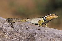 Blue Spiny Lizard (Sceloporus serrifer cyanogenys), adult on log sunning, Starr County, Rio Grande Valley, Texas, USA