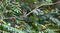 Gorrión Negro (Tiaris bicolor)