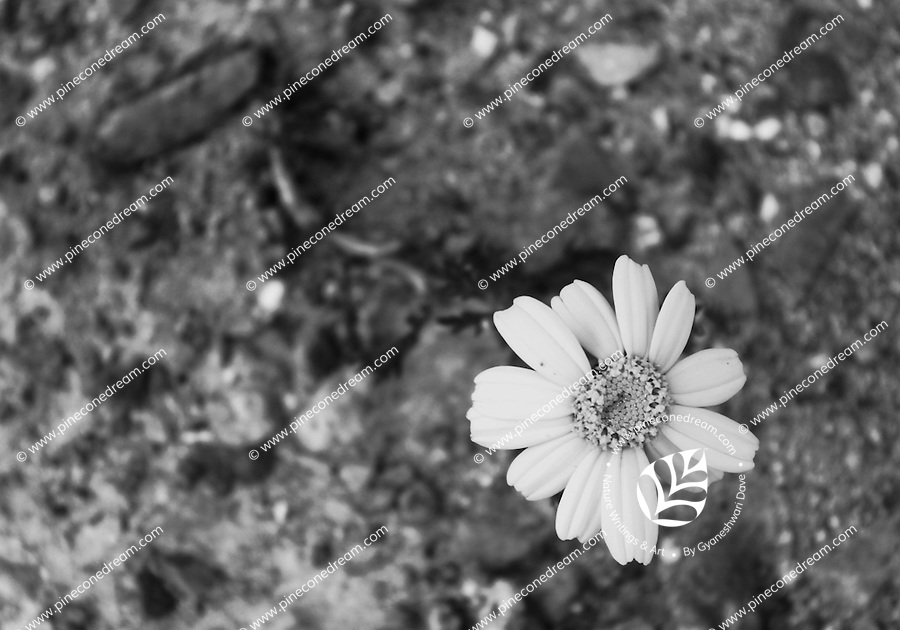 """Black & white stock photo of yellow daisy flower rising out from stony ground.<br /> <br /> View the gallery - """"Conceptual - Nature"""" for the color version of this image."""