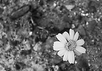 Black &amp; white stock photo of yellow daisy flower rising out from stony ground.<br />
