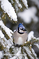 01288-05511 Blue Jay (Cyanocitta cristata) in fir tree in winter, Marion Co., IL