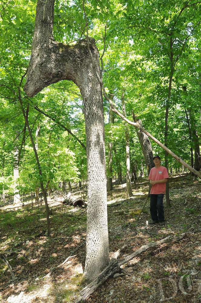 NWA Democrat-Gazette/FLIP PUTTHOFF <br /> Mills stops at an unusual tree during a hike May 5, 2016. Some say the trees with bent trunks were created as saplings by American Indians to point the way to water or shelter.